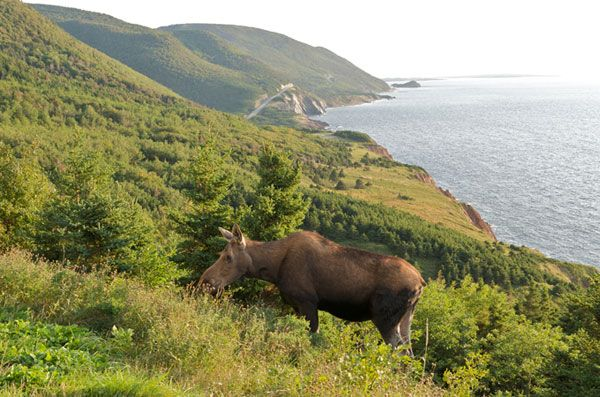Moose on the Cabot Trail Nova Scotia